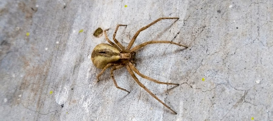 Brown Recluse Spider Las Vegas