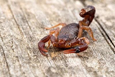 Devil Scorpion