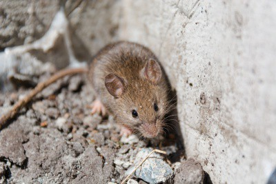 Wild mouse needing pest control